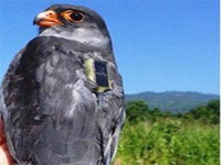 Nagaland awaits Amur falcons from Mongolia