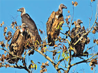 Vultures find new home at Gandhisagar Sanctuary in MP