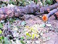 Authorized tree officers absent, illegal felling becomes the norm
