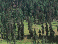 State Cabinet to give nod to pine trees' felling