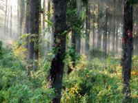 Sal forests shrinking due to climate change: Study