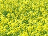 Farmers rally against GM mustard