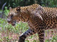 Man-animal conflict: Leopard kills eight goats in Bhudargad