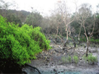 Mangroves in Cuddalore district come under threat