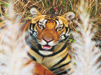 Tigers fall prey to floating population