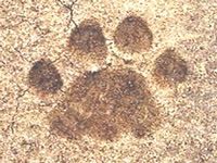 Tiger footprint in Bhopal: Foresters have no clue