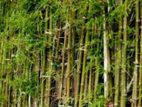 CM calls for support to those involved in bamboo sector