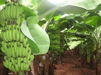 NRCB to release high-yielding banana variety tolerant to diseases
