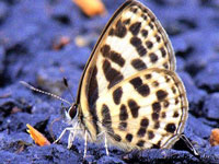 Butterfly count shows 102 species, indicates healthy ecosystem