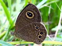 Three new varieties of butterflies discovered in Uttarakhand