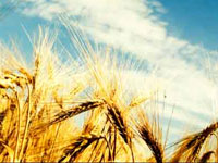 Climate change may reduce rice output in Punjab