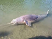 Indus River Dolphin Survey shows sign of breeding population of endangered aquatic species in river Beas