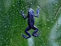 New species of 'see-through' frog discovered