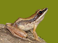New species of tree frog discovered
