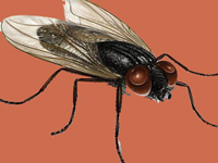 House fly genome could help protect environment