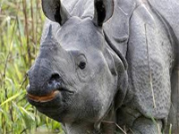 Rhino population in Kaziranga up despite poaching