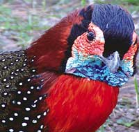 Himachal Pradesh in trouble over tragopan breeding