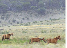 Australia orders to cull wild horses