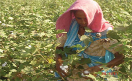 Bt cotton in India: a status report