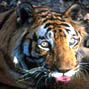 1,411 tigers, and unanswered questions