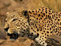 Study in progress to gather data on leopard population