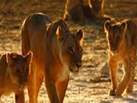 Forest department orders study of fluorosis among lions