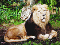 Barda suitable site for lion translocation: WII study