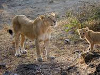 Gujarat floods boost MP's lion translocation dream
