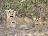 Lion population roars to 650 in Gujarat forests