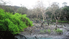 Green tribunal worried over loss of mangroves