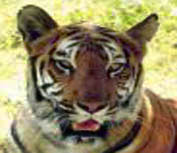 Tiger population up along Indo-Nepal border
