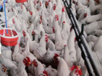 Unchecked use of antibiotics makes chicken risky to eat in Kashmir