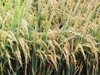 New saline-tolerant hybrid rice variety developed
