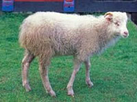 Italian expert identifies blue sheep disease, says could hit wildlife