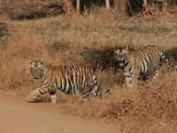 Tiger habitat in Buxa has shrunk: foresters