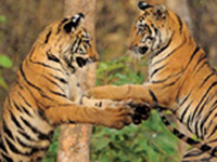 'Not many reasons to be happy for tigers' (July 29 is International Tiger Day)