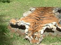 Tiger poaching fears rise in State