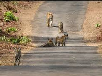 Outside of protected reserves, 130 tigers thrive in Kumaon forest