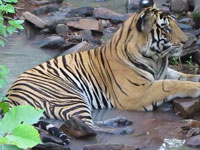 Fourth tiger census kicks off, will use app to record location
