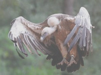 Himalayan Griffon Vulture rescued in Digboi